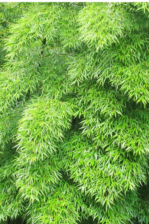 Buy Moso Giant Timber Bamboo Plants - FREE SHIPPING