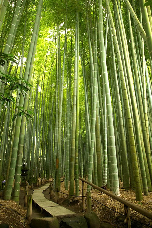 Buy Moso Giant Timber Bamboo Plants Free Shipping