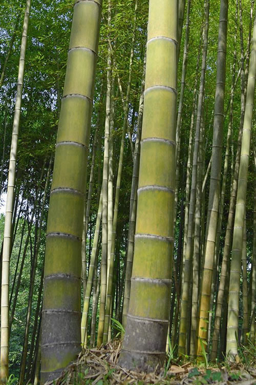Buy Moso Giant Bamboo Phyllostachys Edulis Moso Plants