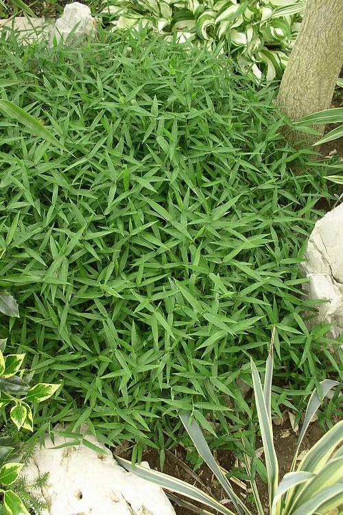 buy pygmy dwarf bamboo pleioblastus pygmaeus plants for