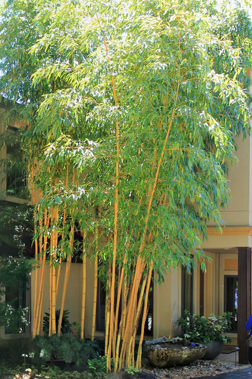 Robert Young Bamboo - Phyllostachys viridis  'Robert Young' - 2 Gallon Pot