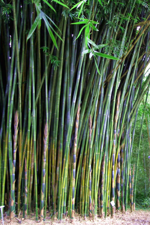 Buy Giant Weavers Royal Bamboo Plants Free Shipping