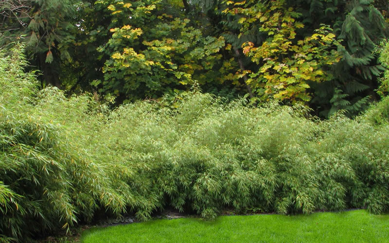 Buy Dragons Head Bamboo - Fargesia dracocephala \'Rufa\' Plants For ...