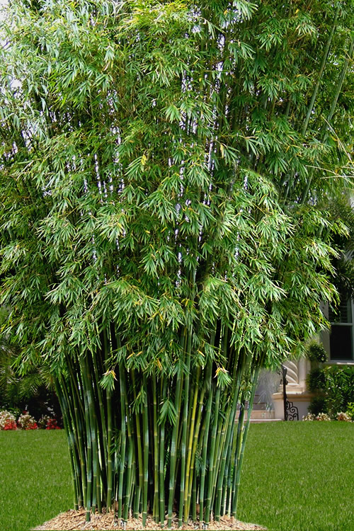 Buy Seabreeze Bamboo Plants Wilson Bros Gardens