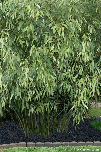Snow Bamboo - Phyllostachys nuda - 3 Gallon Pot