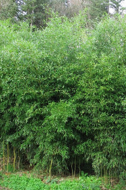 Buy Yellow Groove Bamboo Phyllostachys Aureosulcata Plants
