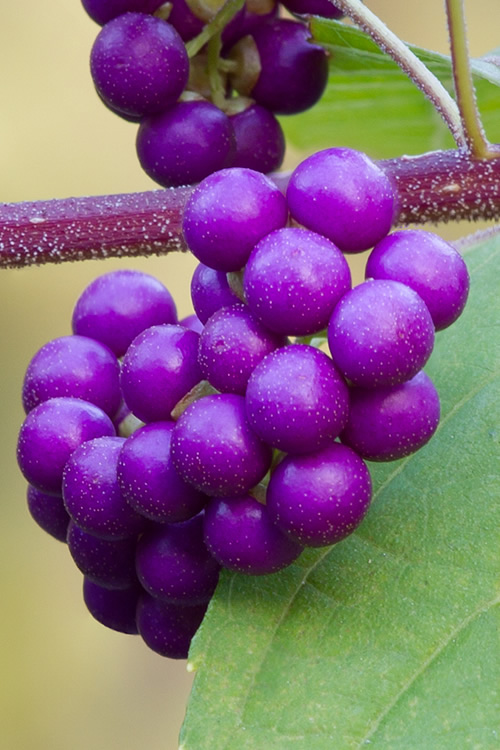 Buy Issai Purple Japanese Beautyberry Free Shipping 3