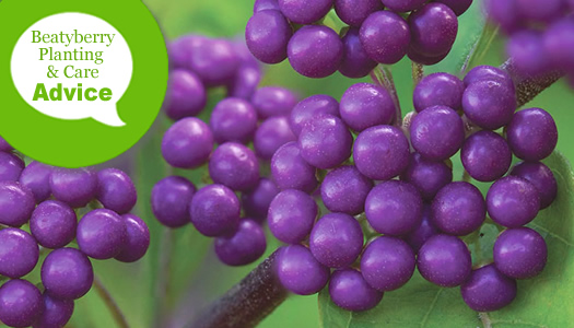 How To Plant & Care For Beautyberry Bushes