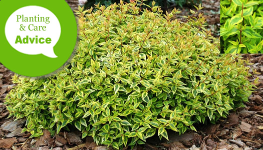 How To Plant Prune Fertilize Water Abelia Shrubs Wilson Bros