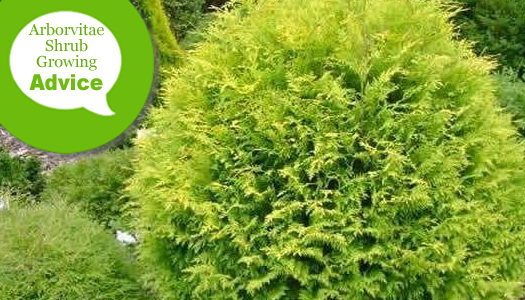 How To Plant & Care For Arborvitae Shrubs