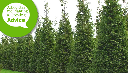How To Plant Care For Arborvitae Trees