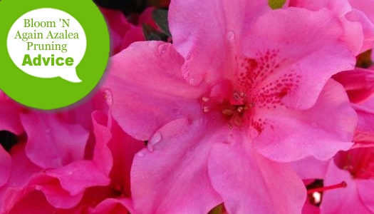 How To Prune Bloom 'N Again Azaleas