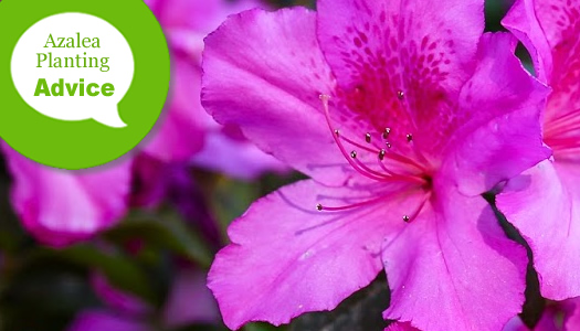 How To Plant Evergreen Azaleas In The Ground Or In Pots