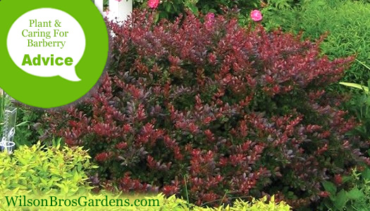 How To Plant And Care For Barberry Plants