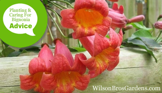 How To Plant, Prune, Fertilize, Water And Care For Bignonia Crossvine Plants