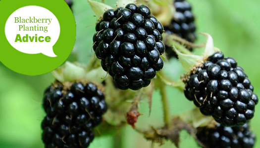 How To Plant and Grow Blackberry Bushes