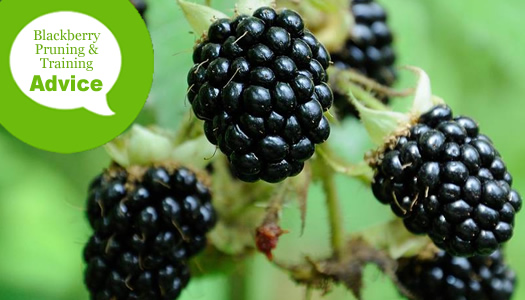 How To Train and Prune Blackberry Bushes
