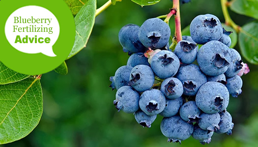 How To Fertilize And Water Blueberry Bushes