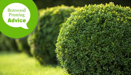 How To Pune And Trim Boxwood Shrubs