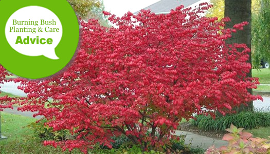 How To Plant, Prune, Fertilize & Water a Burning Bush