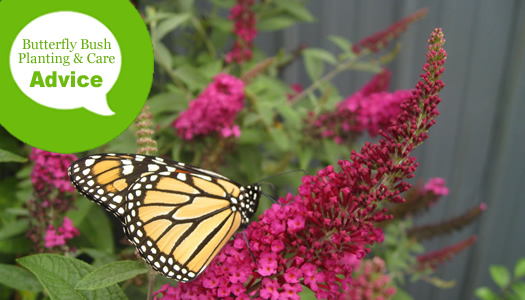 How To Plant And Care For A Butterfly Bush