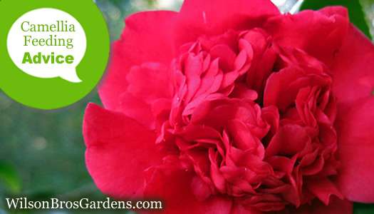 How To Fertilize And Water Camellia Plants