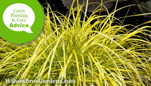 How To Plant, Grow & Care For Carex Sedge Plants