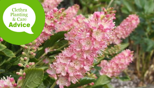 How To Plant And Care For Clethra Summersweet Plants
