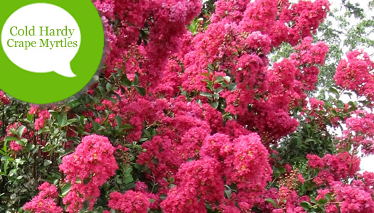 The Most Cold Hardy Crape Myrtles