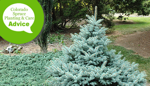 Blue spruce planting guide: where and when to plant | spruce point.
