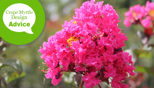 Choosing The Right Crape Myrtle Tree Or Shrub