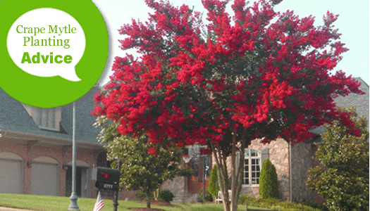 How To Plant a Crape Myrtle Tree Or Shrub In The Ground Or Pots