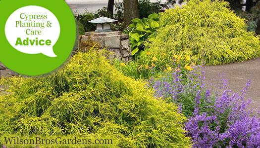 How To Plant Prune Fertilize Water Cypress Trees Shrubs Wilson Bros Gardens