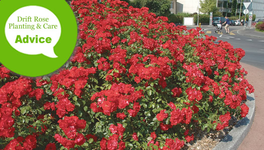 How To Plant, Prune, Fertilize & Water Drift Groundcover Roses