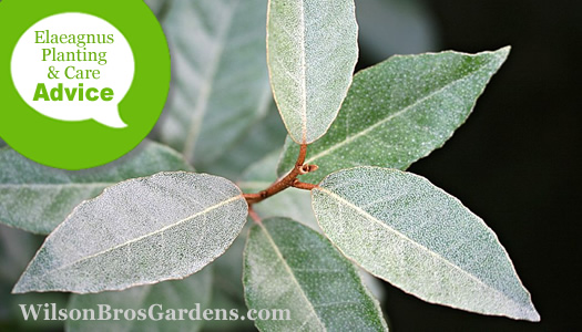 How To Plant, Prune, Fertilize, Water And Care For Elaeagnus Silverberry Shrubs