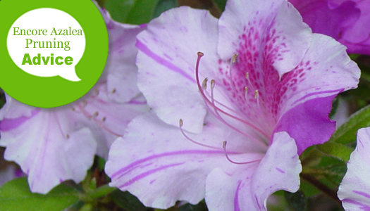 How To Prune an Encore Azalea