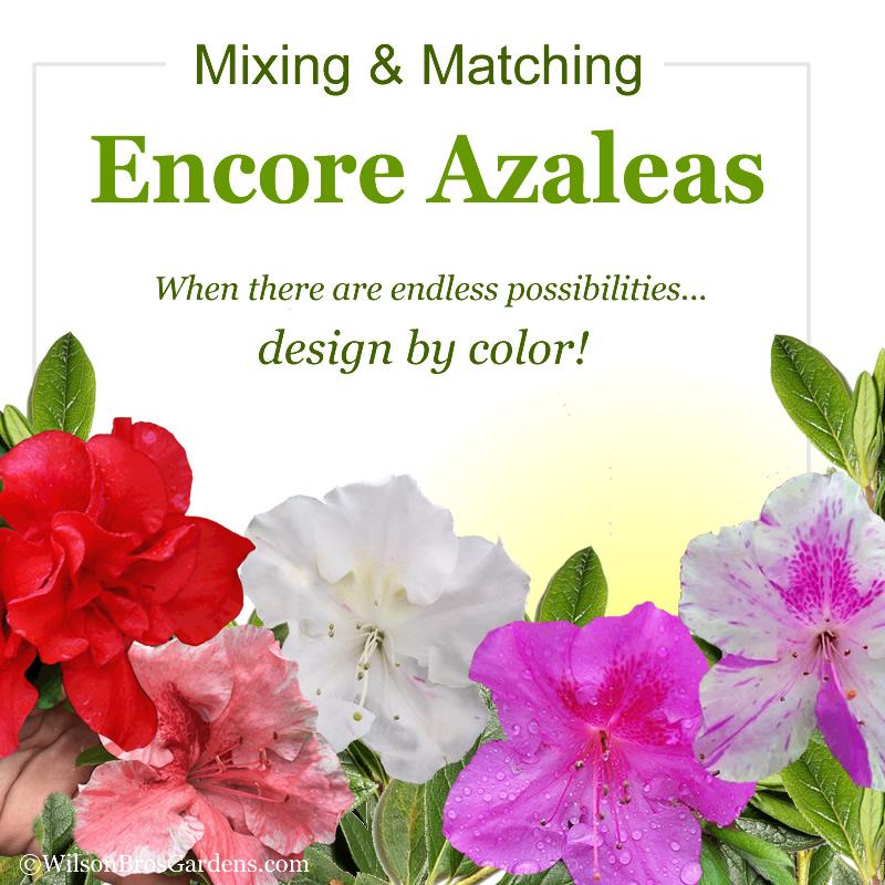 How To Mix Match Encore Azalea Colors In Your Landscape Design Wilson Bros Gardens