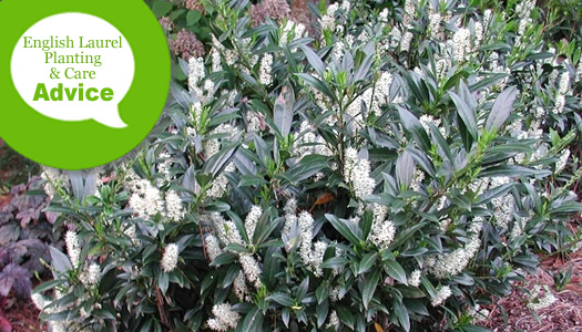 How To Plant, Prune, Fertilize, Water And Care For English Cherry Laurel Plants
