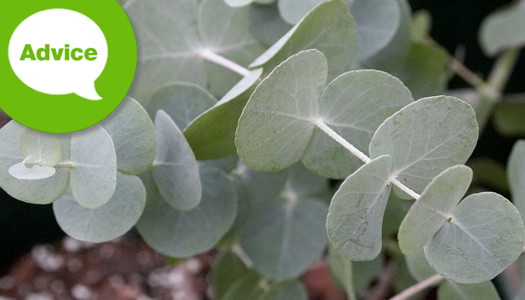 How To Plant & Care For A Eucalyptus Tree