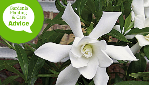 How To Plant & Care For Gardenias
