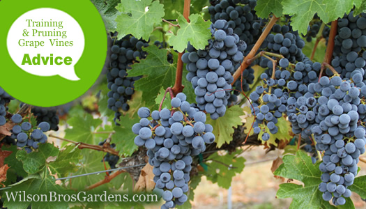 How To Train Prune A Grape Vine From The Experts At Wilson Bros