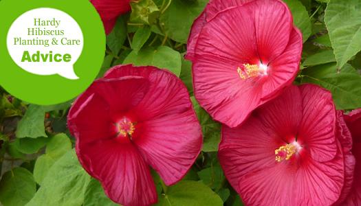 How To Plant Prune Fertilize Water Hardy Perennial Hibiscus