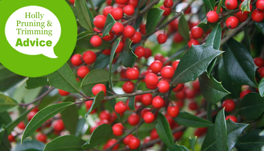 How To Prune an Evergreen Holly Bush or Tree