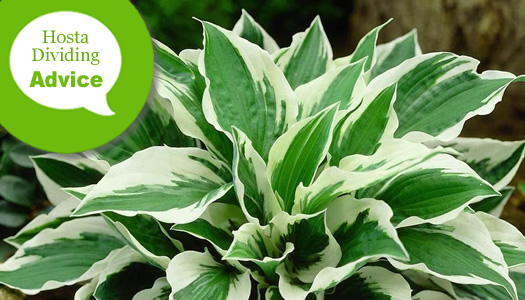 How To Divide & Prune Hosta Lilies