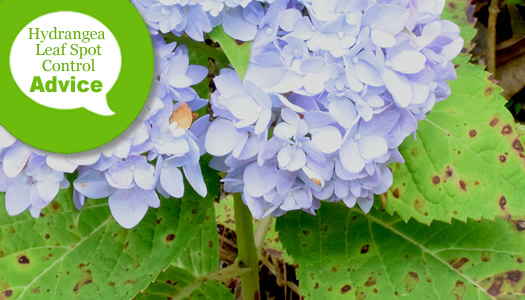 How To Prevent Or Treat & Control Leaf Spots On Hydrangea Leaves