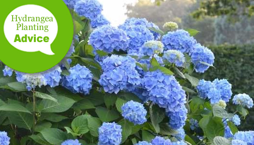How To Plant a Hydrangea In The Ground Or In Pots