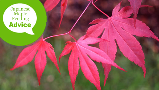 How To Fertilize And Water A Japanese Maple Tree