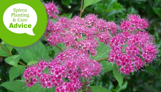 How To Plant, Prune, Fertilize, Water And Care For Summer Flowering Japanese Spirea