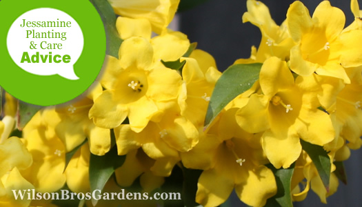 How To Plant, Prune, Fertilize, Water And Care For Carolina Jasmine (Jessamine) Vines