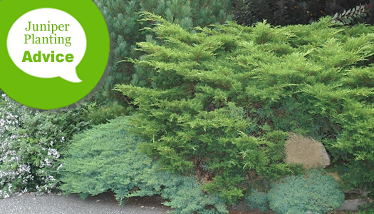How To Plant Low Growing Junipers In The Ground On Slopes
